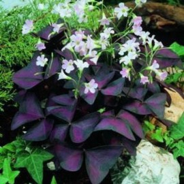 Oxalis triangularis 'Purple Shamrock'