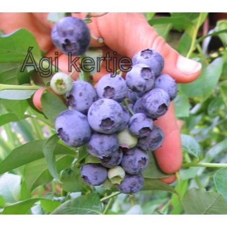 Fürtös kék áfonya-Vaccinium corymbosum