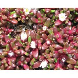 Havasi kristályvirág-Delosperma alpinum