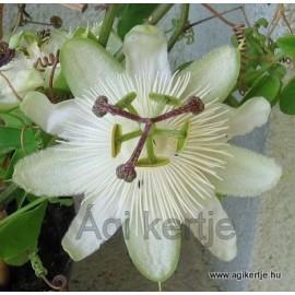 Passiflora 'White wedding'-Golgotavirág