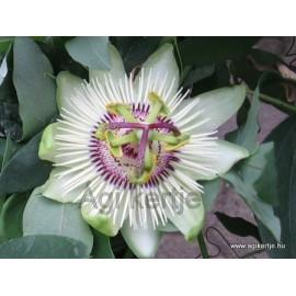 Passiflora 'Winterland'-Golgotavirág