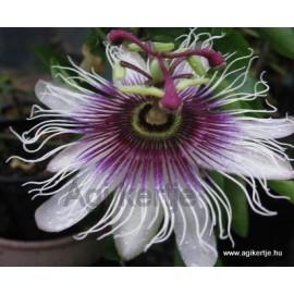 Passiflora 'Sapphyre'-Golgotavirág