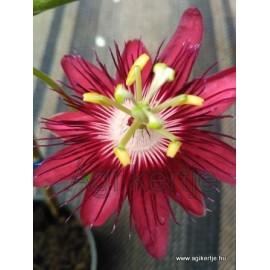 Passiflora 'Lady Margaret'-Golgotavirág