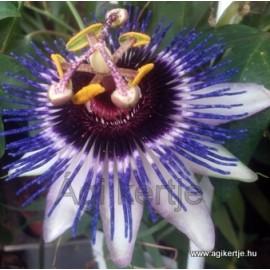 Passiflora caerulea'Silly Cow'-Télálló golgotavirág