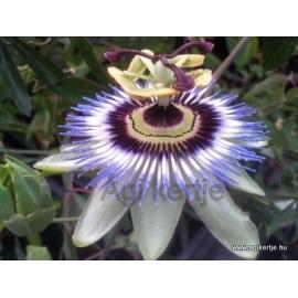 Passiflora caerulea-Télálló golgotavirág