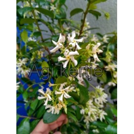 Csillag jázmin-Trachelospermum jasminoides