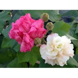 Hibiscus mutabilis-Gyapot rózsa