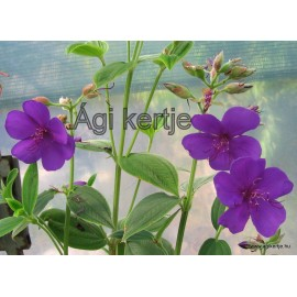 Hercegnővirág-Ibolyafa-Tibouchina urvelliana