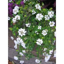 Futó sétányrózsa-Lantana montevidensis, fehér
