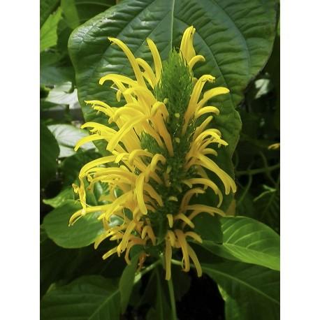 Tobozvirág,tollvirág, sárga - Jacobinia carnea 'Aurea'