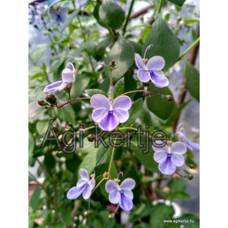 Ugandai kékpillangó-Clerodendron ugandense-Rotheca myricoides