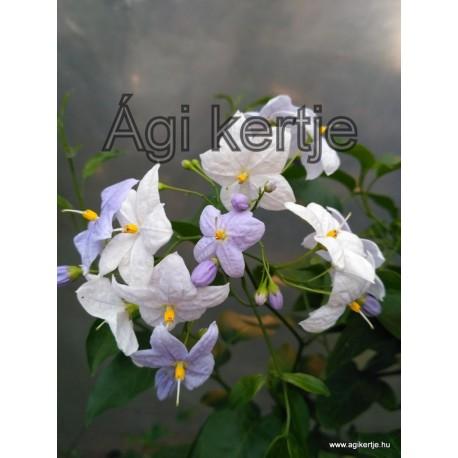 Kék virágú csüngő jázmin-Solanum jasminoides