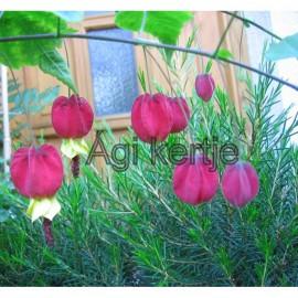 Csengettyűs selyemmályva-Abutilon megapotamicum