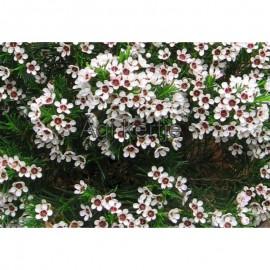 Waxvirág-Chamelaucium uncinatum-Waxflower