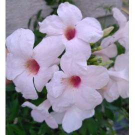 Ausztrál kúszó jázmin, fehér - Pandorea jasminoides