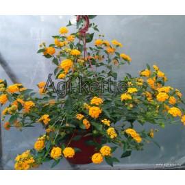 Futó sétányrózsa-Lantana montevidensis, sárga