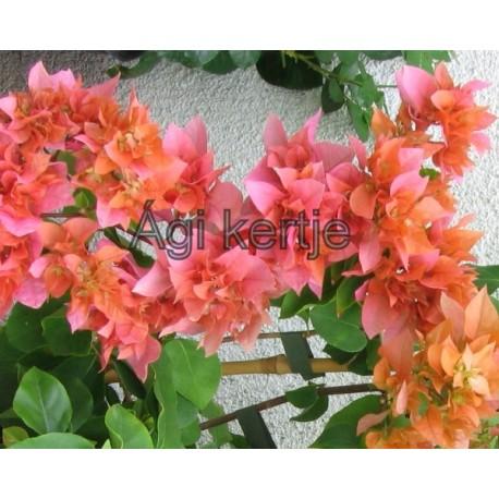 6-Narancs-rózsaszín dupla-Murvafürt-Bougainvillea