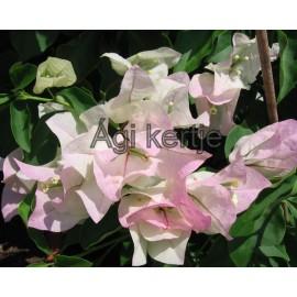 10-Fehér-rózsaszín cirmos-Murvafürt-Bougainvillea