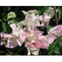 10-Fehér-rózsaszín cirmos-Murvafürt-Bougainvillea-Shakura