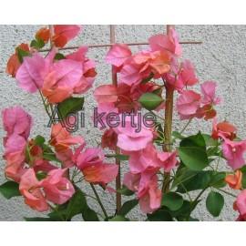 13-Rózsás-barack-Murvafürt-Bougainvillea