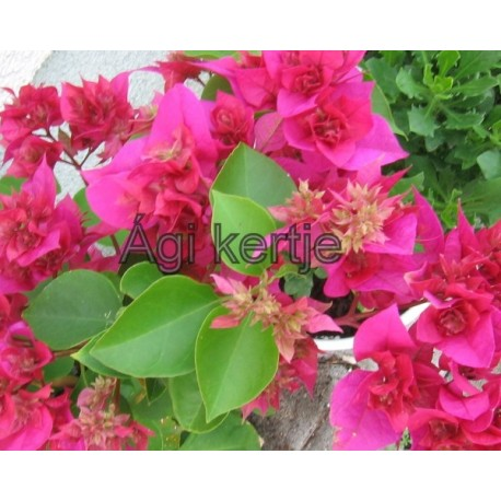 15-Pink dupla-Murvafürt-Bougainvillea