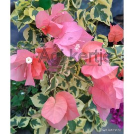 17-Orange variegata-Murvafürt-Bougainvillea