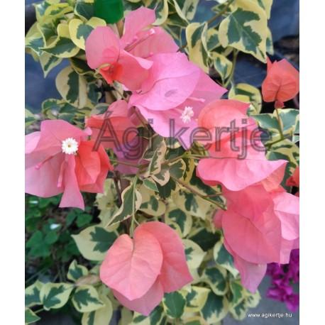 17-Orange variegata-Murfafürt-Bougainvillea