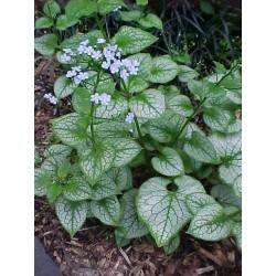 Kaukázusi nefelejcs-Brunnera macrophylla