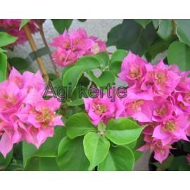 22-Rózsaszín dupla-Murvafürt-Bougainvillea