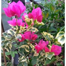 25-Pink variegata-Murvafürt-Bougainvillea
