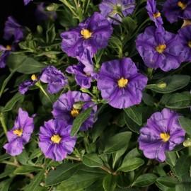 Encián, kék - Solanum rantonetti