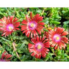Kristályvirág-Delosperma Red Fire- Piros nagyvirágú