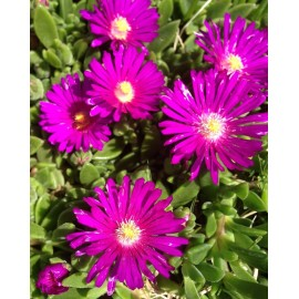 Kistályvirág-Delosperma Tiffendell- Pink nagyvirágú