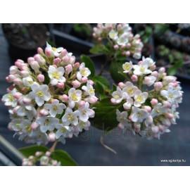 Tavaszi illatos bangita-Viburnum burkwoodii