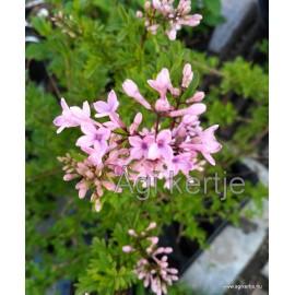 Szeldelt levelű perzsa orgona-Syringa laciniata