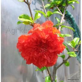 Teltvirágú gránátalma-Punica granatum, narancsvörös