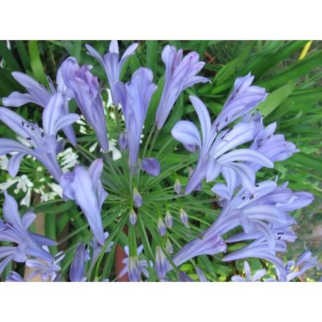 Kék Afrikai szerelemvirág-Agapanthus