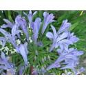 Kék Afrikai szerelemvirág-Agapanthus africanus