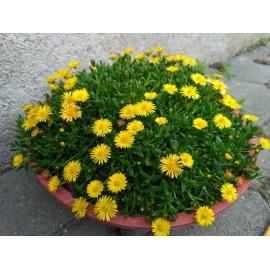 Kistályvirág-Delosperma nubigeum 'Compactum'- Sárga virágú