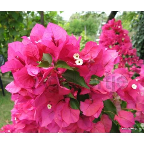 18-Pink bugás-Murvafürt-Bougainvillea