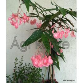 Begónia fácska -Begonia corallina 'Tamaya'