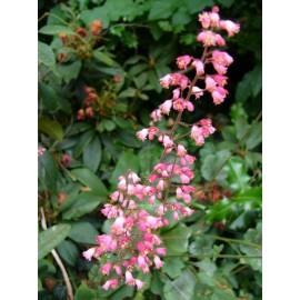 Rózsaszín virágú, zöld levelű tűzeső