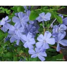 Ólomvirág, kék - Plumbago