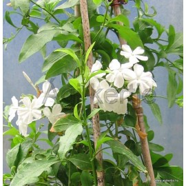 Ólomvirág, fehér - Plumbago