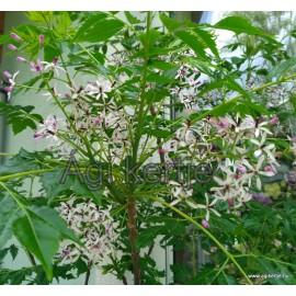 Gyöngyfa, Imafüzérfa mag- Melia azedarach