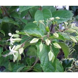 Végzetfa-Clerodendron trichotomum