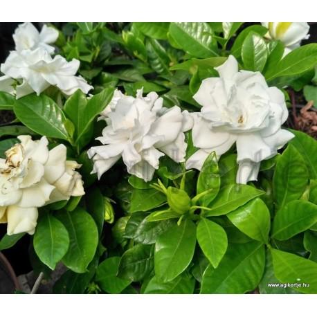 Galléros jázmin-Gardenia jasminoides