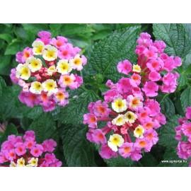 Sétányrózsa-Lantana camara-Rózsaszín-sárga
