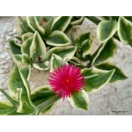Szívlevelű kristályvirág- Jegecske, tarka levelű-Aptenia cordifolia