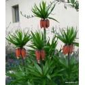 Császárkorona hagyma-Fritillaria imperialis